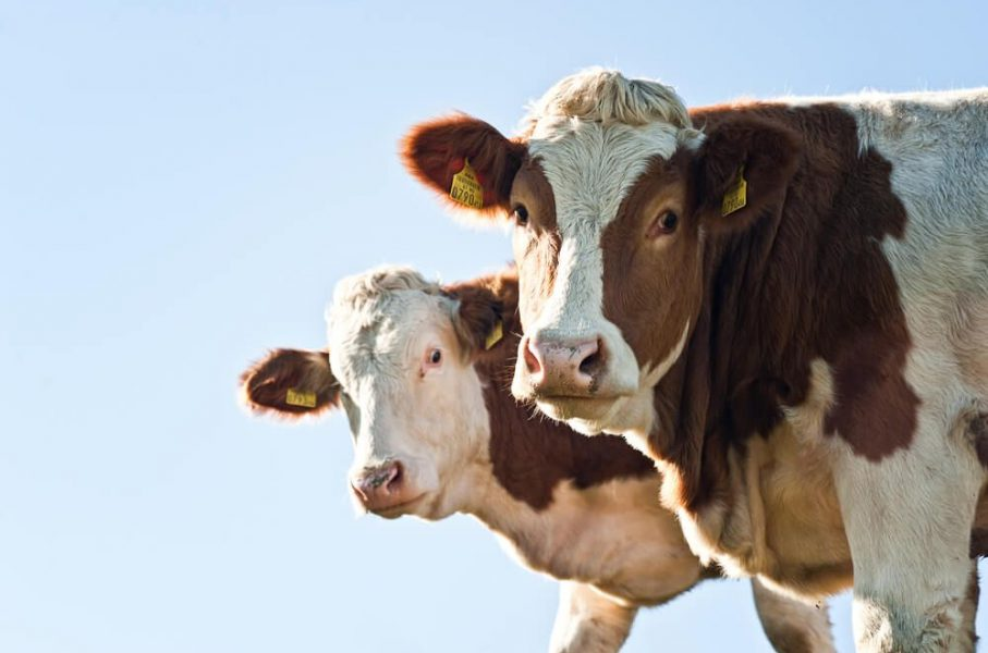ukrainian cow